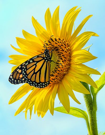Monarch on sunflower photograph by Julie Raasch