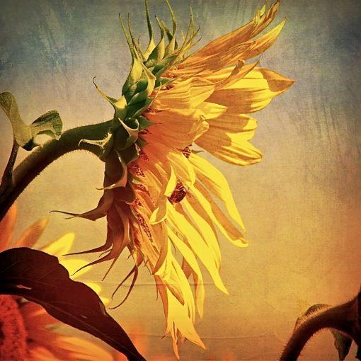 Aileen Musa, Sunflower, handcolored photograph