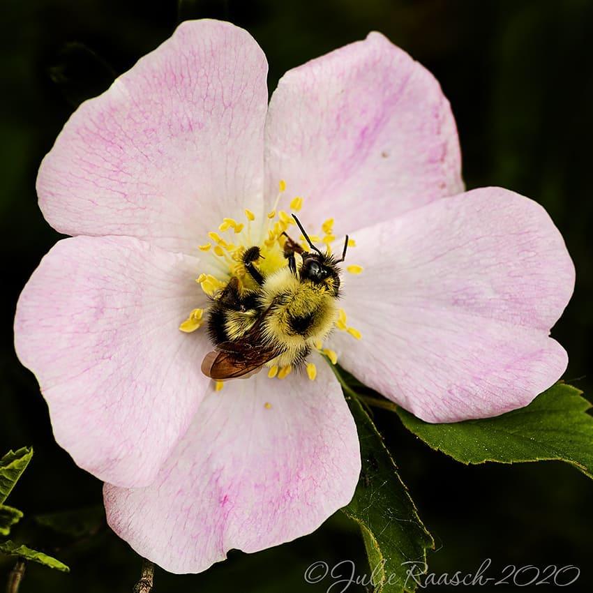 Photographer Julie Raasch'  bee on flower
